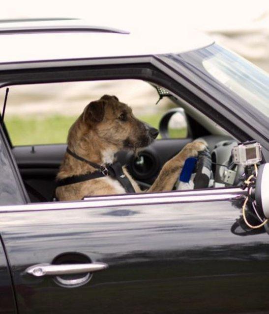 В Новой Зеландии открыты водительские курсы для собак (видео). собака, автомобиль, креатив, интерфейс, интересное