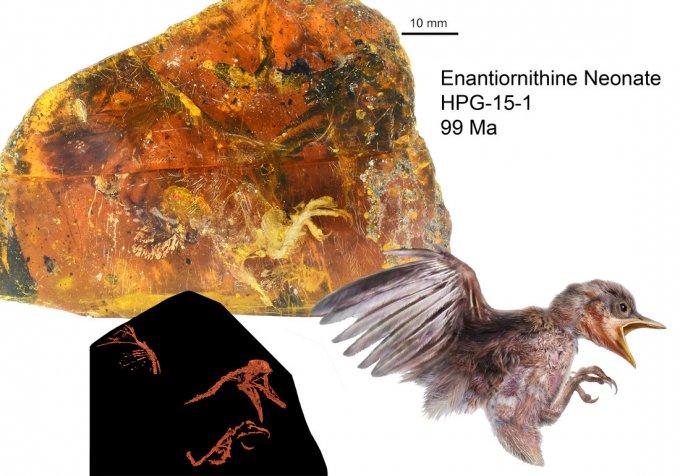 Обнаружен птенец возрастом почти 100 млн. лет