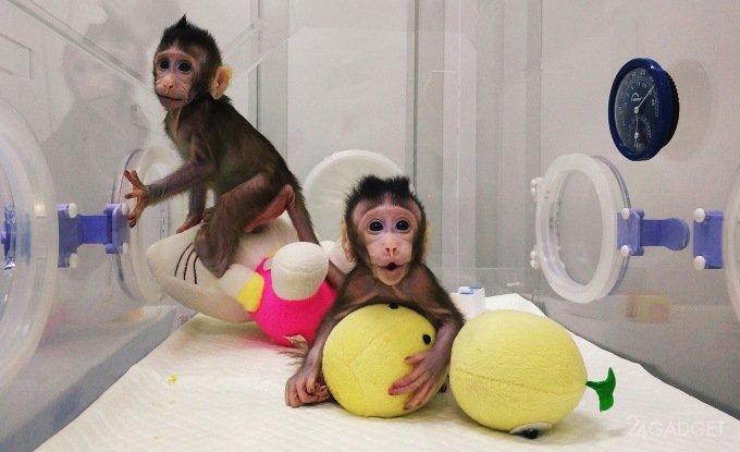 По следам овечки Долли: китайцы первыми клонировали обезьяну