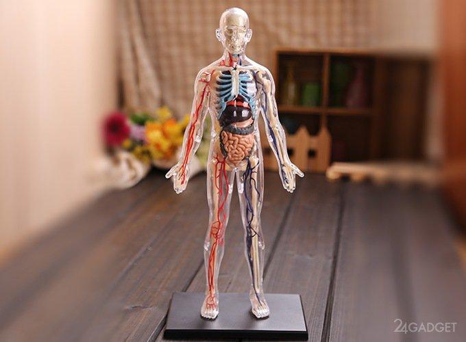 Ученые обнаружили у человека новый орган (2 фото + видео)