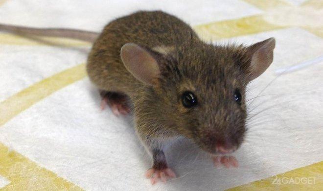 В США создали гибрид человека и мыши