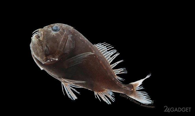 Учёные нашли рыбу, кожа которой поглощает 99.5% света (4 фото)