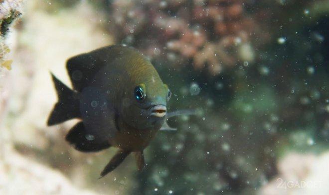 Найдены рыбы, разводящие на ферме водоросли и приручившие креветок