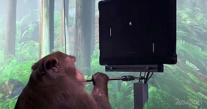 Обезьянка сыграла в Понг, используя силу мысли и чип от компании Илона Маска (видео)