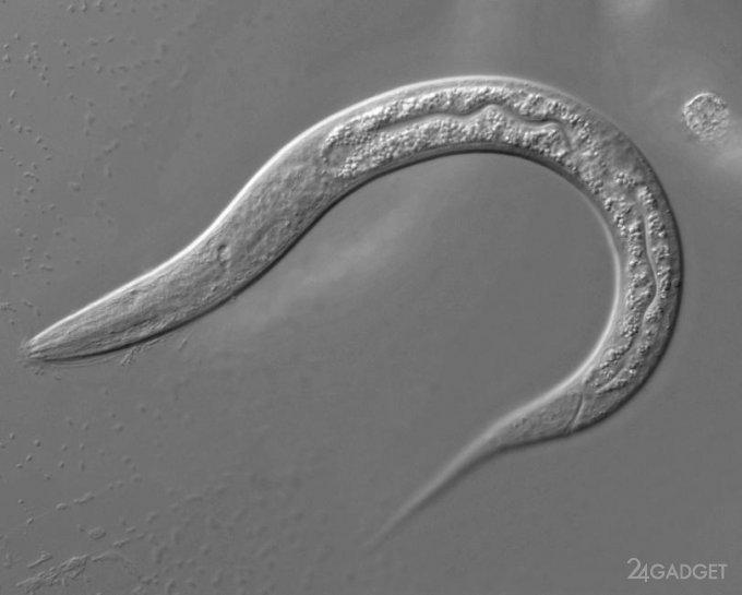 Американцы перепрограммировали мозг червя с помощью нейронов гидры